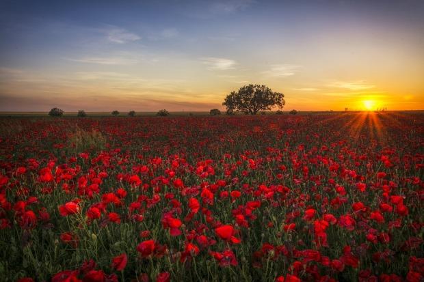 poppies-1086135_960_720